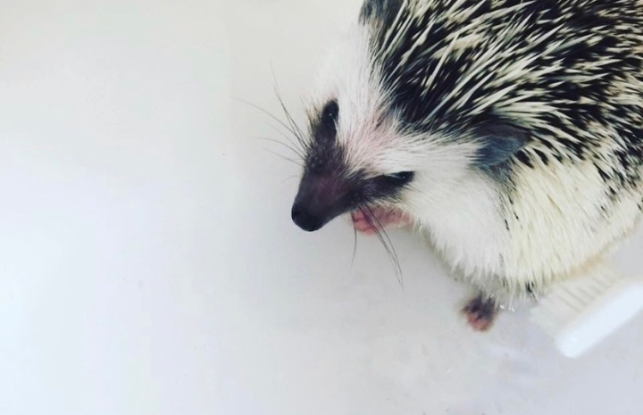My experience owning a African Pygmyhedgehog.
